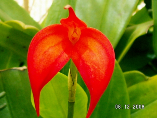 Masdevallia Falcon Sunrise